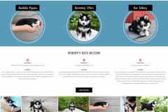 Playful-Pomskies-–-Pomsky-Puppy-Breeder-Pomsky-Adoption